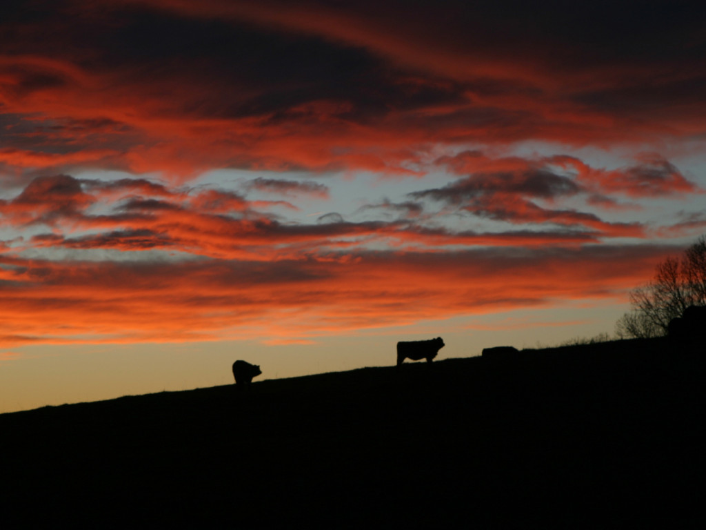 sunset cows 2_128_2833 1440x1080 72dpi